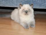 Кошки, котята Экзотическая короткошерстная, цена 1200 Грн., Фото