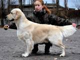 Собаки, щенки Золотистый ретривер, цена 10 Грн., Фото