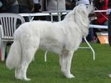 Собаки, щенята Польська підхаланська вівчарка, ціна 1000 Грн., Фото