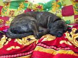 Собаки, щенята Мальоркскій бульдог (Ка Де Бо), ціна 4000 Грн., Фото
