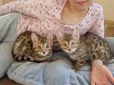 Кошки, котята Бенгальская, цена 6000 Грн., Фото