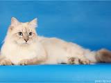 Кошки, котята Невская маскарадная, Фото