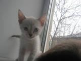 Кошки, котята Сиамская, цена 200 Грн., Фото