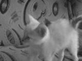 Кішки, кошенята Сіамська, ціна 200 Грн., Фото