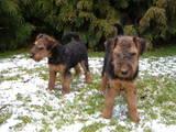 Собаки, щенята Вельштер'єр, ціна 1200 Грн., Фото