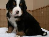 Собаки, щенки Бернская горная собака, цена 6500 Грн., Фото