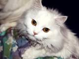 Кошки, котята Турецкий ван, цена 50 Грн., Фото