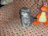 Кішки, кошенята Highland Fold, ціна 1500 Грн., Фото