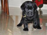 Собаки, щенки Лабрадор ретривер, цена 3900 Грн., Фото