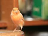 Попугаи и птицы Канарейки, цена 40 Грн., Фото