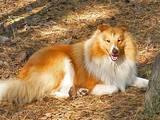 Собаки, щенята Шелті, ціна 500 Грн., Фото
