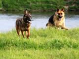 Собаки, щенки Бельгийская овчарка (Малинуа), цена 1600 Грн., Фото
