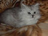 Кошки, котята Шиншилла, цена 800 Грн., Фото