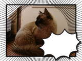 Кішки, кошенята Тайська, ціна 300 Грн., Фото