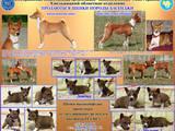 Собаки, щенята Басенджі, ціна 5500 Грн., Фото
