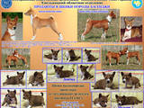 Собаки, щенки Басенджи, цена 5500 Грн., Фото