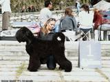Собаки, щенята Чорний тер'єр, ціна 5300 Грн., Фото