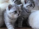 Кішки, кошенята Шотландська короткошерста, ціна 2700 Грн., Фото