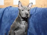 Собаки, щенки Родезийский риджбек, цена 23000 Грн., Фото