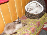 Кошки, котята Тайская, цена 500 Грн., Фото