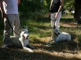 Собаки, щенки Белая Швейцарская овчарка, цена 4000 Грн., Фото