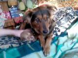 Собаки, щенки Ховаварт, цена 50 Грн., Фото