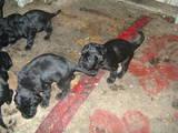 Собаки, щенята Чорний тер'єр, ціна 1500 Грн., Фото