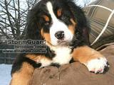 Собаки, щенки Бернская горная собака, цена 7000 Грн., Фото