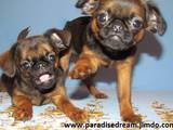 Собаки, щенята Брабантський гріффон, ціна 4000 Грн., Фото