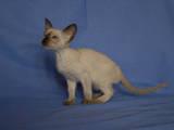 Кошки, котята Сейшельская короткошерстная, цена 2500 Грн., Фото