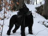 Собаки, щенята Різеншнауцер, ціна 3000 Грн., Фото
