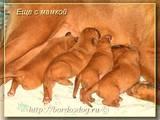 Собаки, щенки Бордосский дог, цена 4500 Грн., Фото