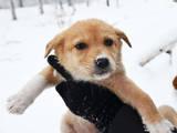 Собаки, щенки Австралийская овчарка, цена 5 Грн., Фото