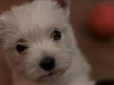 Собаки, щенки Вестхайленд уайт терьер, цена 5500 Грн., Фото