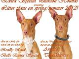 Собаки, щенята Фараонова собака, ціна 10000 Грн., Фото