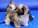 Собаки, щенята Шелті, ціна 3500 Грн., Фото