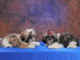 Собаки, щенки Шелти, цена 3500 Грн., Фото