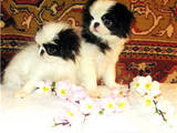 Собаки, щенки Японский хин, цена 4800 Грн., Фото