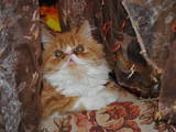 Кошки, котята Персидская, цена 400 Грн., Фото