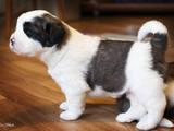 Собаки, щенки Московская сторожевая, цена 1500 Грн., Фото
