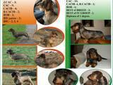 Собаки, щенята Жорсткошерстна кроляча такса, ціна 7 Грн., Фото