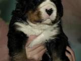 Собаки, щенята Гірський собака Берна, ціна 8000 Грн., Фото