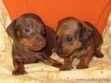 Собаки, щенки Гладкошерстная кроличья такса, Фото