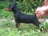 Собаки, щенята Пінчер, ціна 1 Грн., Фото