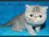 Кішки, кошенята Екзотична короткошерста, ціна 2400 Грн., Фото