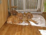 Собаки, щенки Бордосский дог, цена 3500 Грн., Фото