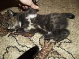 Кішки, кошенята Європейська короткошерста, ціна 50 Грн., Фото