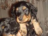 Собаки, щенята Довгошерста такса, ціна 350 Грн., Фото