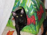 Кішки, кошенята Корніш-рекс, Фото