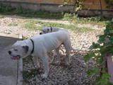 Собаки, щенята Американський бульдог, ціна 5 Грн., Фото